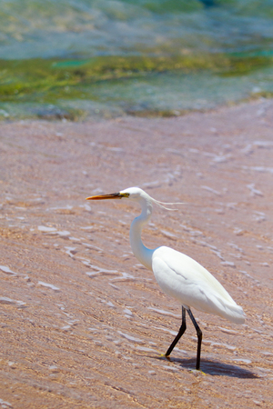 Great white heron on the coast of the Red Sea, hunting for fish