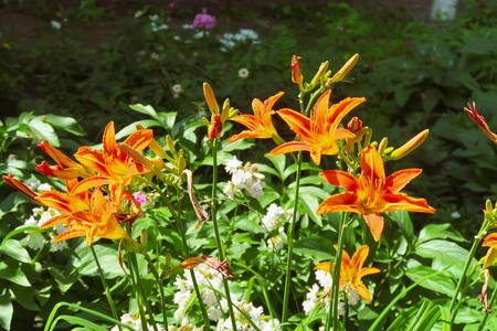 flower orange lily nature