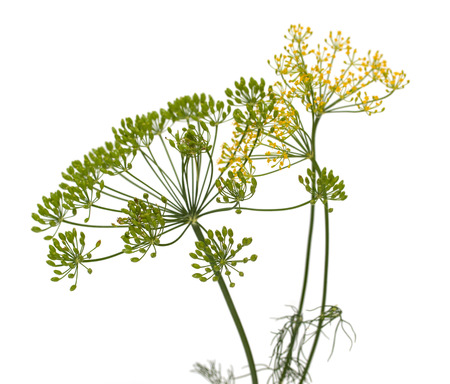 fresh dill flowers on white background 写真素材