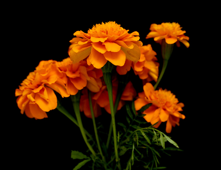 Tagetes of flowers isolated on black background