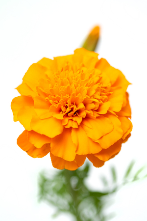 Tagetes of flowers isolated on white background
