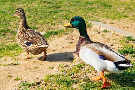 wild ducks on a green meadow