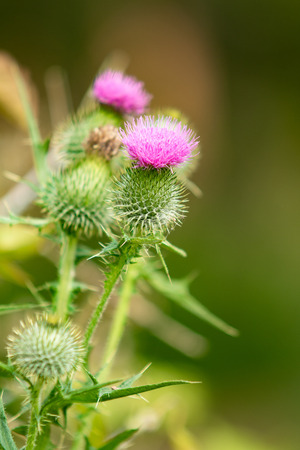 Thistle flower nature Stock Photo