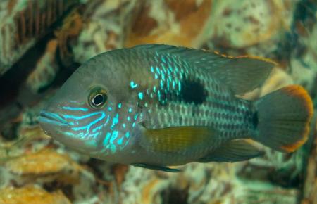 Bright aquarium fish close-up