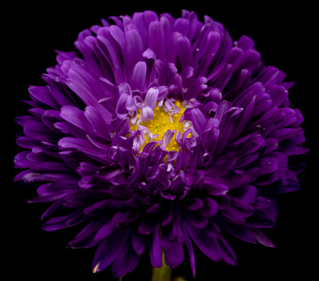 Aster flowers isolated on a black background