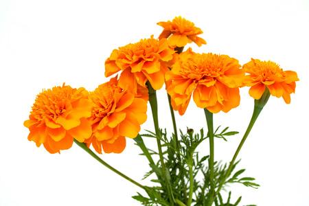 Tagetes von Blumen lokalisiert auf weißem Hintergrund