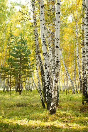 yellow birch forest, late autumn nature landscape