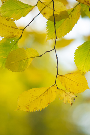 autumn yellow and green leaves close-up landscape
