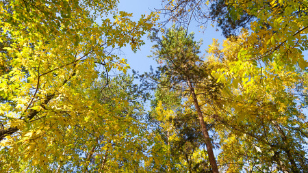 leaves of trees view from below into the sky, autumn landscape 版權商用圖片