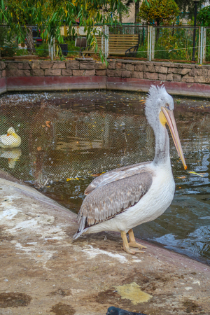 gray pelican by the pond Stock Photo