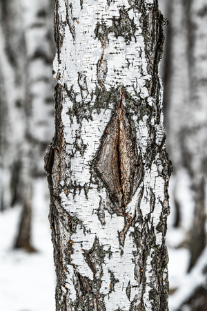 birch forest, tree trunk close up, winter
