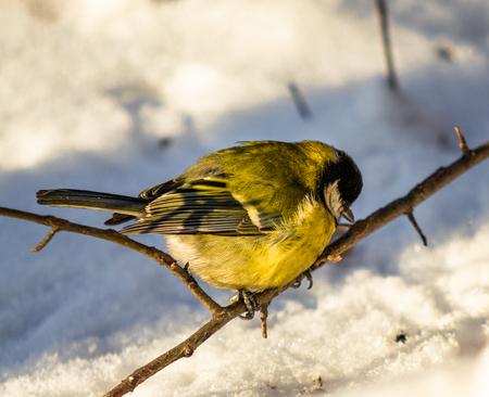 Bird Great Tit. Winter trees snow.