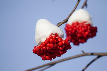 red rowan berries in winter nature landscape snow