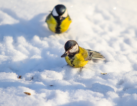 Bird Great Tit. White snow background.