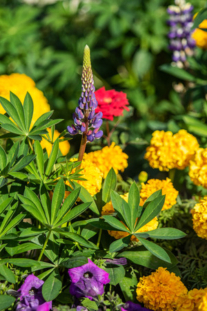 Lupinus flowers are bright with green foliage nature Imagens - 115695912