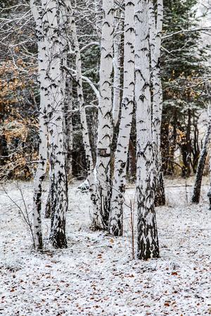 winter first snow birch forest landscape