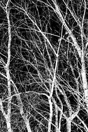 tree branches white silhouette on black background Stock Photo