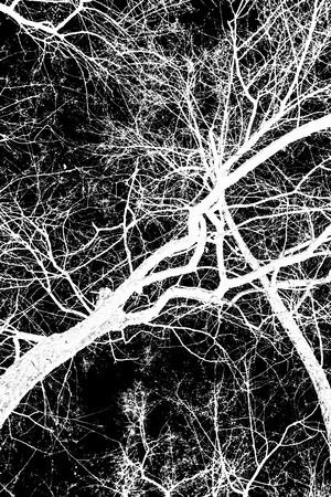 tree branches white silhouette on black background Imagens