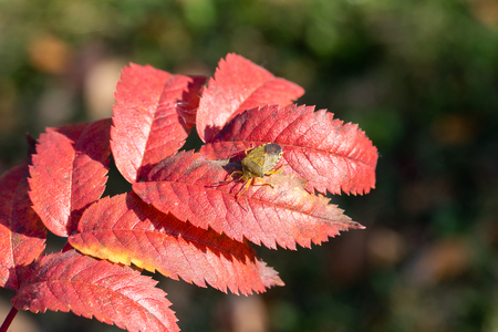 stink bug, red leaf autumn 免版税图像