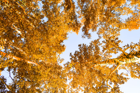 yellow birch leaves against the sky autumn background