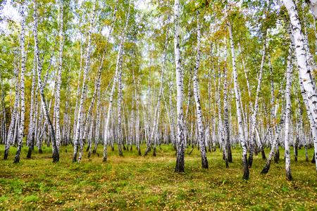 gelber Birkenwald, spätherbstliche Naturlandschaft Standard-Bild