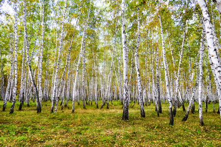 yellow birch forest, late autumn nature landscape Stock Photo