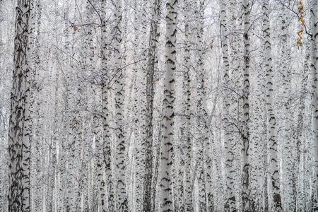 first snow in a birch forest, autumn landscape