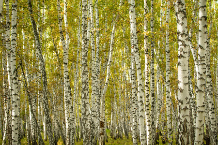 forêt de bouleaux jaunes, paysage naturel de fin d'automne Banque d'images