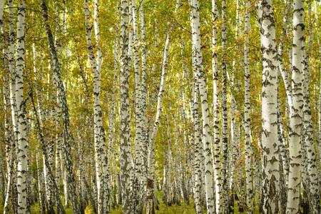 yellow birch forest, late autumn nature landscape Фото со стока