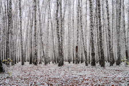 first snow in a birch forest, autumn landscape Stock Photo