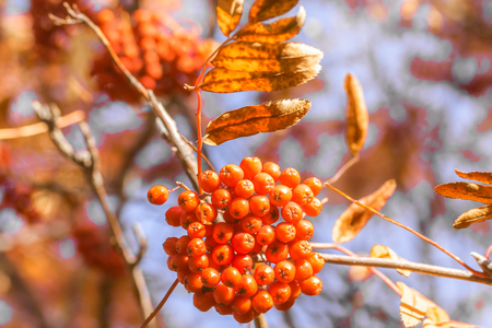 autumn tree ashberry bright colors of nature Stock Photo
