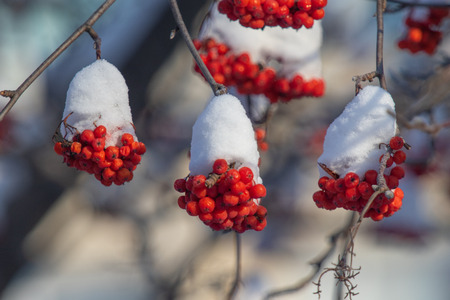 winter red mountain ash snow