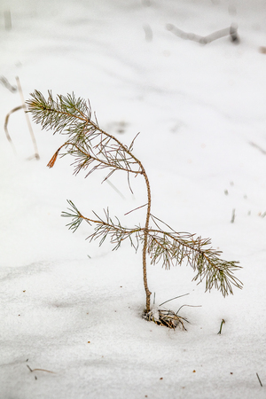 saplings spruce snow winter Stok Fotoğraf