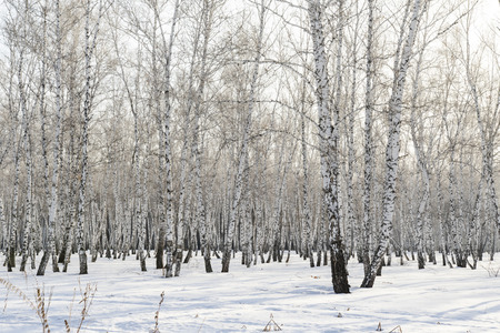 Birch forest winter landscape.