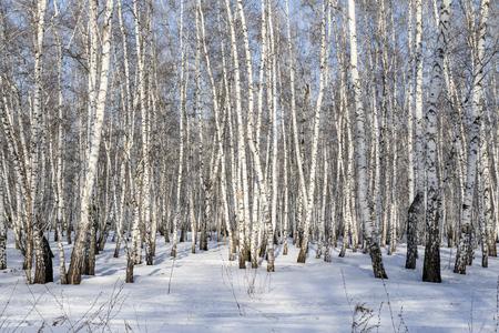 Paesaggio invernale della foresta di betulle.