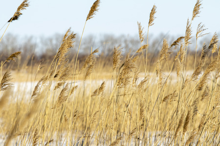 Dry branches of reeds against the blue sky