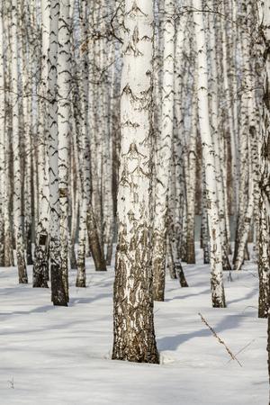 Birch forest winter landscape. Stock Photo