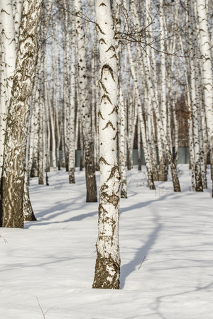 Paisaje de invierno de bosque de abedules.