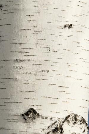 Texture de gros plan d'écorce de bouleau. Banque d'images