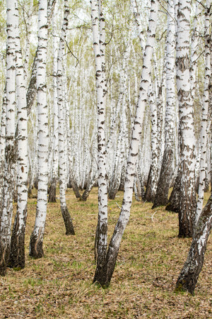 Birch trees forest grass early spring landscape forest area. Stok Fotoğraf