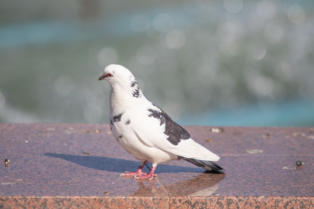 Wild dove sits, blurred background, summer nature. Banque d'images