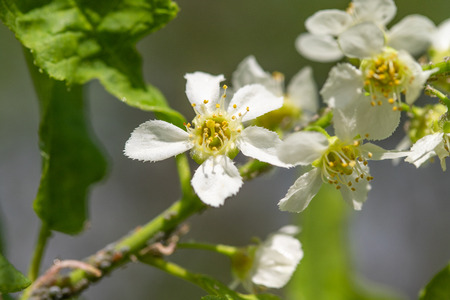 Flowers white cherry in the green leaves of the tree. 스톡 콘텐츠