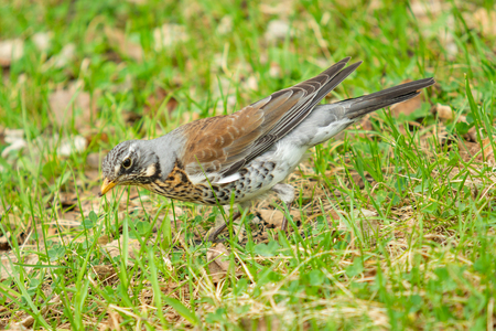 Song Thrush in the green grass. Nature birds westa. 스톡 콘텐츠