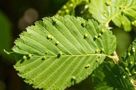 Green leaves with insects aphid. Stock Photo