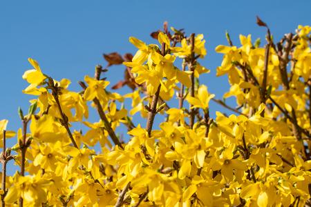 Plant flowers of yellow mimosa close up Standard-Bild