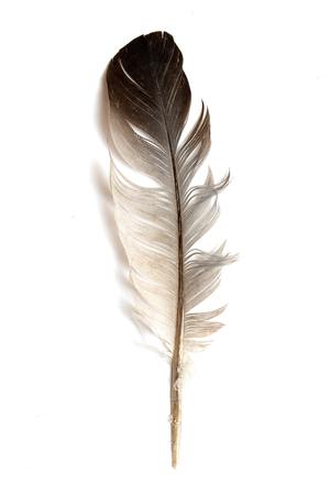 Feder eines Vogels auf weißem Hintergrund.