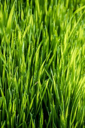 grünes Gras in der Sonne, Bokeh-Hintergrund von Regentropfen