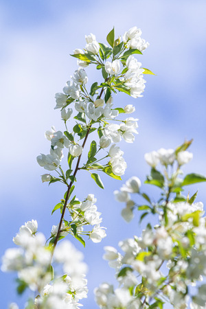 The white flowers of the apple tree are the green leaves of the tree against the blue sky.