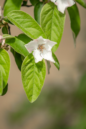 White flowers of quince tree green leaves, spring nature.
