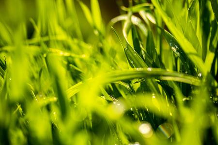 Green grass with raindrops, landscape closeup.
